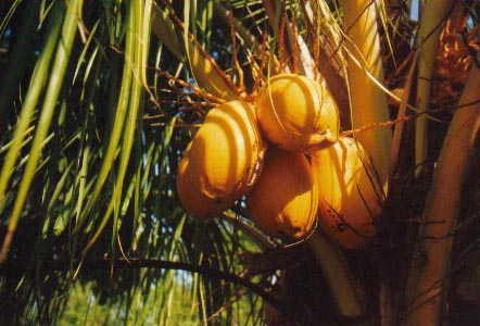 Coconut-Palm/Little-Torch-Key