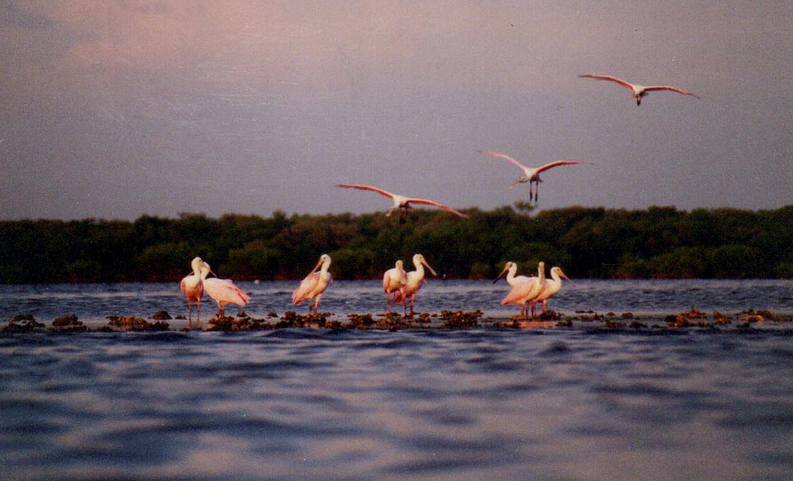 roseate-spoonbills-on-oyster-bar-at-sunset/Little-Cockroach-Bay